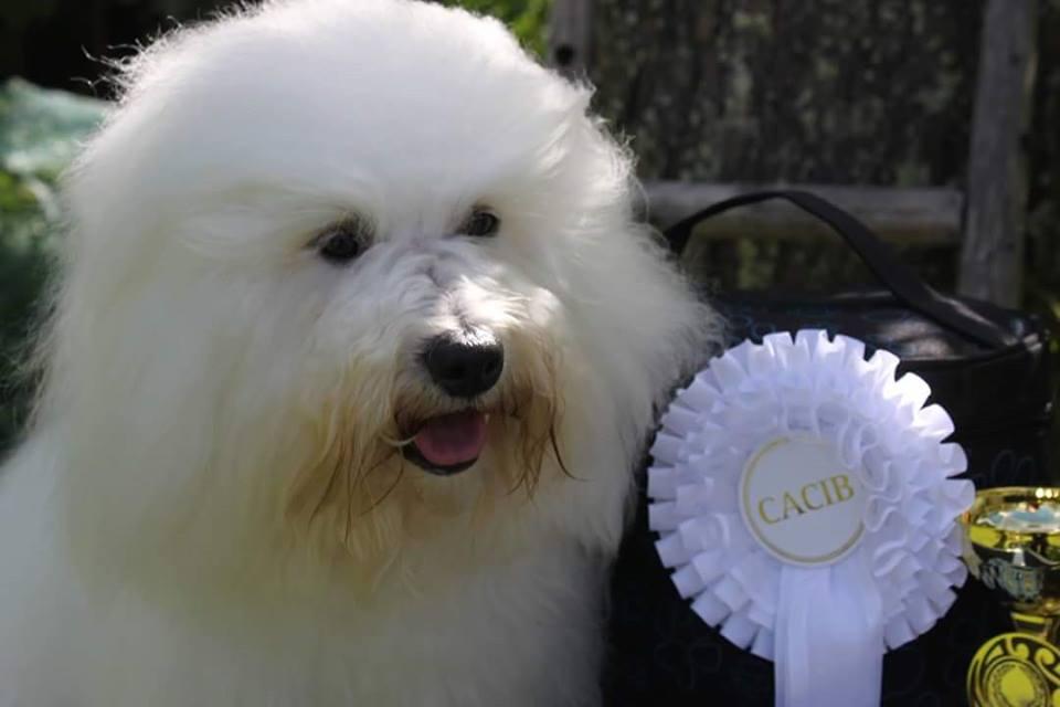 Coton de Tuléar kasvattaja koiranäyttely
